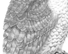"""Detail taken from British bird artist Mark Dean's """"Peregrine"""", showing the detail on the feathers. #featherdetail #birdart #birdartist #markdean #peregrine #pencilwork"""