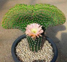 """Amazing Succulents on Instagram: """"Amazing cactus 🌵 😘 follow me @amazing.succulents ▪☑ #succulents #succulentplant #succulentplants #plant #plants #floweringplant…"""""""