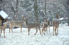 deer wallpaper desktop