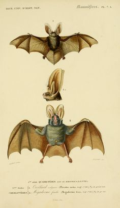 Dictionnaire universel d'histoire naturelle, Charles Dessalines d'Orbigny, Vol. I 1849 Atlas (Zoologie Humaines, Mammiferes & Oiseaux).