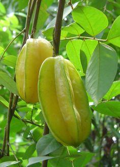 Carambola,Star fruit.  http://astar-fruit.blogspot.com/2011/08/grow-carambola-star-fruit.html
