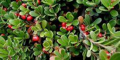 busserole (Arctostaphylos uva-ursi) ou raisin d'ours : propriétés, atouts santé