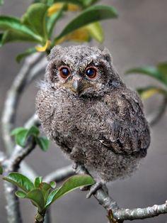 Sunda Scops Owl  (photo by Irawan Subingar)