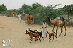 Beautiful view of Thar desert & beautiful Camel's, Ghosts, Sindh Pakistan