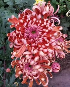 Chrysanthemum Wedding Bouquet, Chrysanthemum Flower, Japanese Chrysanthemum, Japanese Flowers, Exotic Flowers, Beautiful Flowers, Purple Flowers, Motif Floral, Zinnias