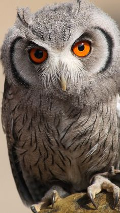 Eulenblick - owl-eyes  owl, bird, predator, eyes, feathers