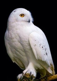 An poster sized print, approx (other products available) - A perched male snowy owl on a black background - Image supplied by Fine Art Storehouse - poster sized print mm) made in Australia Beautiful Owl, Animals Beautiful, Cute Animals, Owl Photos, Owl Pictures, Harry Potter, Snowy Owl, Owl Art, Nocturne