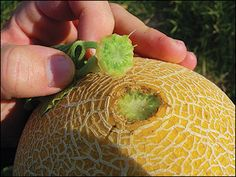 Muskmelons slip from the vine when mature. Watermelons, however, do not slip and are harvested when the tendril closest to the fruit dries. Excellent source of info on melons from extension.missouri.edu