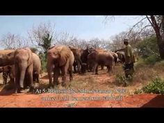 This video is a perfect example of all the amazing work that is being done at David Sheldrick Wildlife Trust... Yatta was found in 1999 next to her Mother who had been killed by poachers and the wonderful people at the Trust found her, and gave her a second chance.  She is now living back in the wild and made her way back to the camp to show off her newborn calf to the people who helped save her life so many years ago.