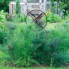 Easy-to-Grow Herbs: Fennel