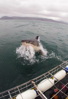 Shark Adventures offer the total Great White Shark experience including natural predation, breaching Flying white sharks