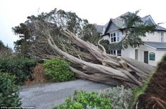 This 150 year old tree has been taken down by the high winds at the Hotel Dyfryn in Ardudwy, North Wales