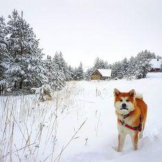【ame_999】さんのInstagramをピンしています。 《写真をとるために遊ぶの止めなアカンかったアメちゃん。。。なんか不機嫌そう(o´艸`) #外国 #ヨーロッパ #バルカン #セルビア #雪 #山 #自然 #風景 #景色 #森 #山登り #散歩 #犬 #日本犬 #秋田犬 #子犬 #真っ白 #冬 #冬休み #loyalakitas #japaneseakita #instadog #akita #akitaofinstagram #akitapuppy #dogstagram #hikingwithdogs #zlatibor #snowdog #ametheakita》