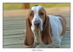 Basset hound. Yes please!!!! (: