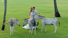 Donkey wedding party, only in St. John - USVI