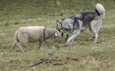 Daily Cute: Lamb and Husky Frolic Together in the Grass-video