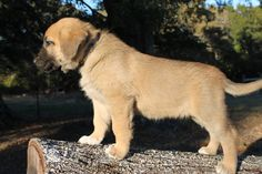 Litter of 9 Anatolian Shepherd puppies for sale in SEARCY, AR. ADN-49535 on PuppyFinder.com Gender: Female. Age: 6 Weeks Old