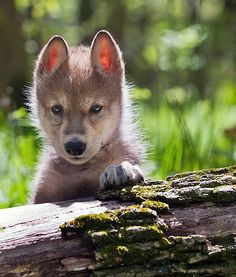 wolf pup pictures