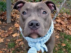 SAFE 12-20-2015 Manhattan Center TOMMY – A1060679 MALE, GRAY / WHITE, AM PIT BULL TER MIX, 8 mos OWNER SUR – EVALUATE, NO HOLD Reason LLORDPRIVA Intake condition EXAM REQ Intake Date 12/16/2015 http://nycdogs.urgentpodr.org/tommy-a1060679/
