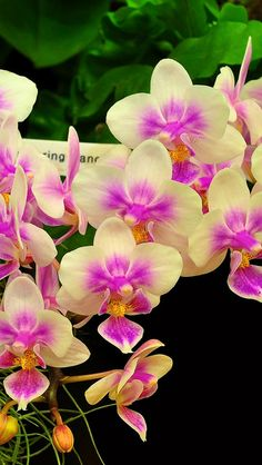 Yellow & Purple Orchids