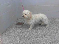 This DOG-ID#A477403  I am a male, white Terrier mix. I have been at the shelter since Dec 30, 2014.  If you are my owner, you must physically come to the shelter to claim me. We are located at 333 Chandler Place, San Bernardino, CA 92408. Our Lost & Found hours are Tuesday-Saturday 10:00 am to 5 pm.