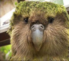 Kakapo Flightless Parrot, Kakapo Parrot, Beautiful Birds, Animal Pictures, New Zealand, Nature, Parrots, Kiwi, Experiment