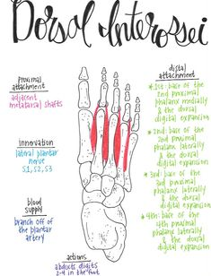 Dorsal Layer of Plantar Intrinsic Muscle Yoga Anatomy, Anatomy Study, Physical Therapy School, Gross Anatomy, Muscular System, Arthritis, Medical Anatomy, Human Anatomy And Physiology, Muscle Anatomy