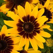 Garden Crossings Online Garden Center offers a large selection of Black Eyed Susan Plants. Shop our Online Annual catalog today! Gold Flowers, Cut Flowers, Flowers Perennials, Planting Flowers, Order Plants Online, Gloriosa Daisy, Butterfly Eyes, Outdoor Flowers, Annual Flowers