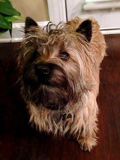 Fergus  Cairn terrier