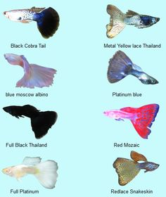 The Beauty of Underwater: Guppy (Ikan Seribu) Tropical Freshwater Fish, Tropical Fish Aquarium, Tropical Fish Tanks, Freshwater Aquarium Fish, Betta Fish Types, Betta Fish Tank, Oscar Fish, Fish Tank Design, Aquatic Turtles