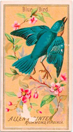 → Blue Bird. Allen & Ginter cigarette card