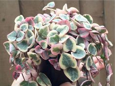 aka Ceropegia woodii f. variegata Colorful Succulents, Hanging Succulents, Hanging Plants, Hanging Baskets, Indoor Cactus Plants, Cactus House Plants, Cactus Cactus, Air Plants, Chain Of Hearts Plant