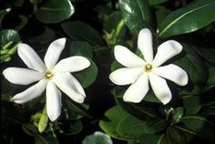 The most popular flower of Tahiti, guests ears?