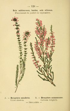 erica cinerea, calluna vulgaris - high resolution image from old book. Vintage Botanical Prints, Botanical Drawings, Botanical Art, Botanical Illustration, Vintage Flower Prints, Bedroom Wall Collage, Photo Wall Collage, Picture Wall, Foto Poster