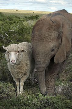 Good Friends - Elephant Baby and Sheep. Unfortunately, it wouldn't surprise me if this was another orphan baby.