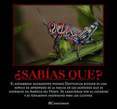 #Curiosidades #SabiasQue El asombroso #Saltamontes pintado #Dactylotum bicolor es una especie de artrópodo de la familia de los acrídidos que se distribuye en #AmericaDelNorte. Se caracteriza por su colorido y es totalmente inofensivo para los cultivos.  @candidman