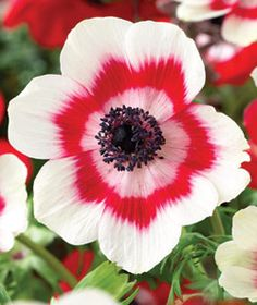 Garden with Breck's and SAVE! Shop Breck's premium Poppy Anemone Ring of Fire and try our gorgous garden flowers! Exotic Flowers, Amazing Flowers, White Flowers, Beautiful Flowers, Fresh Flowers, Anemone Flower, My Flower, Ranunculus Flowers, White Anemone