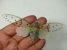 Cicada Spectabile. Pretty.