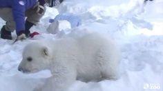 Toronto Zoo Polar Bear Cub Enjoys Playtime in his new Outdoor Habitat (+...