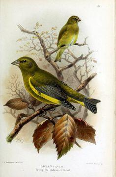 Vintage Birds, Vintage Wall Art, Vintage Prints, Vintage Paper, Vintage Bird Illustration, Illustration Art, Buda Wallpaper, Greenfinch, Flora