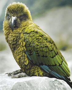Kea bird native to New Zealand. Bird Pencil Drawing, Animals And Pets, Cute Animals, Nz Art, Kiwiana, Bird Artwork, Wild Creatures, Forest Friends, Birds Eye View