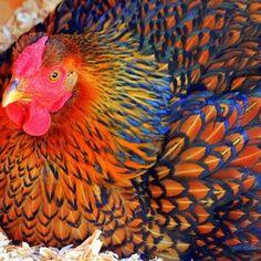 Golden Laced Wyandotte love chickens!