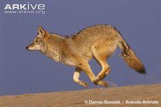 Coyote photos - Canis latrans | ARKive