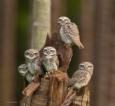 Owlets united