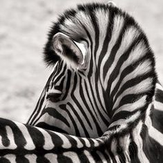 Not usually a big fan of Zebra but this photo is awesome.