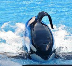 Orcas Seaworld, Jason Lee Scott, Back Photos, Sea World, Otters, Whale, Gallery, Animals, Tanks