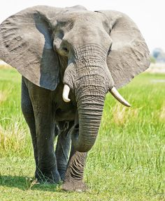 African Elephant bull approaching by pollittpics on DeviantArt Elephant Love, Elephant Art, African Elephant, African Animals, Elephants Never Forget, Save The Elephants, Baby Elephants, Baby Cows, Elephants Photos