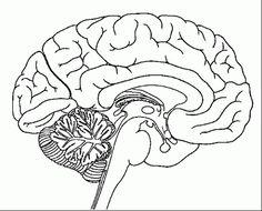 8 Gambar Human Brain Coloring Pages terbaik | Brain anatomy ...