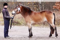 Finnhorse mare Lavilan Minttu showing clear Pangare markings.