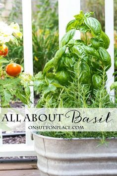 All About Basil: Growing, Propagating, Chopping & Freezing   The Complete Guide   Tips and easy ways to get the most out of your basil plants.